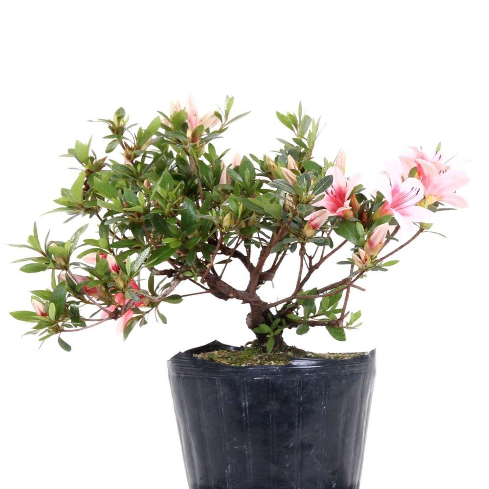 Bonsai - Jap. Satsuki Azalee 'Hi-no-Maru', Rhododendron indicum 183/59