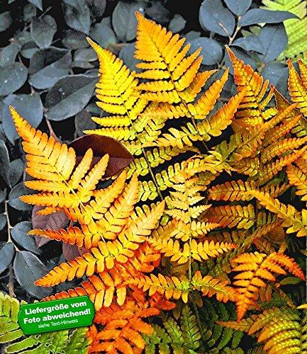 BALDUR-Garten Winterharter Schmuck-Farn 'Golden Brilliant', 1 Pflanze Dryopteris