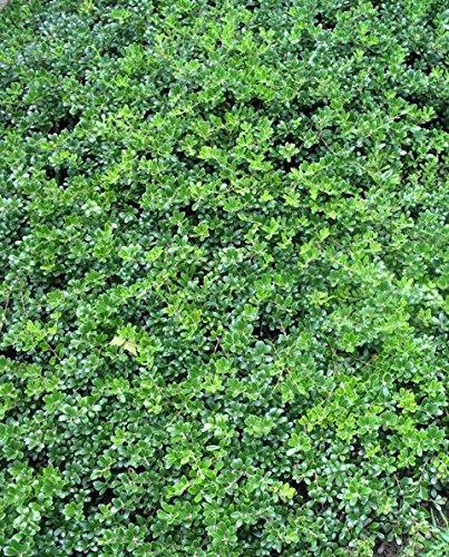 Arctostaphylos Uva-Ursi ''Kinnickinick, Bearberry'' Quart Size Native Plant, Delivery in 4 Days!