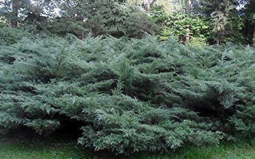 Blue Pfitzer Juniper Qty 30 Live Plants Evergreen Ground Cover by Florida Foliage (Image #2)