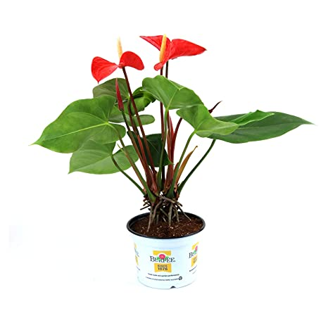 225 & Burpee Coral Heart Anthurium | Indirect High Light Easy Care House Plant