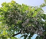 Melia Azedarach CHINABERRY Tree Seeds!