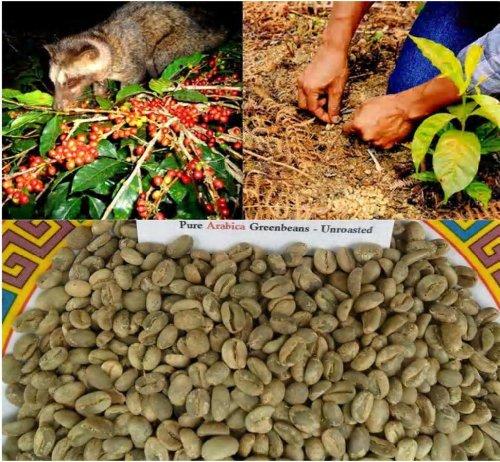 Kopi Luwak Coffee Authentic Unroasted