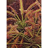 TROPICA - African Sundew (Drosera capensis) - 200 Seeds - Carnivors