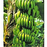 Banana Plant RARE Variety Fruits Fruit 4'' Pot Graden Outdoor Best Gift NEW