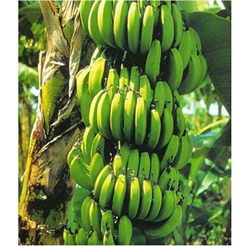 Banana Plant RARE Variety Fruits Fruit 4'' Pot Graden Outdoor Best Gift NEW by gk_usa_mall (Image #1)