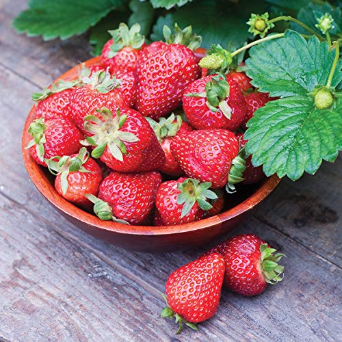 Burpee 'Seascape' Ever-Bearing Strawberry shipped as 25 BARE ROOT PLANTS by Burpee (Image #1)