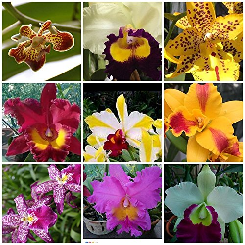 Sale - 3 Large Live Orchids Plants(Cattleya,Oncidium,Dendrobium) by Angels Orchids (Image #1)