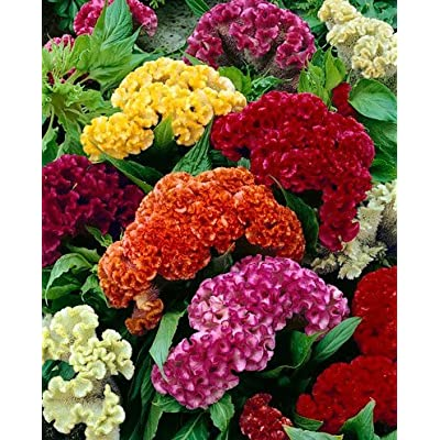 "(ACEL)~""GIANT COCKSCOMB MIX"" CELOSIA~Seed!~~~~~Lots of WOW!!! : Celosia Plants : Garden & Outdoor"