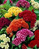 "(ACEL)~""GIANT COCKSCOMB MIX"" CELOSIA~Seed!~~~~~Lots of WOW!!!"
