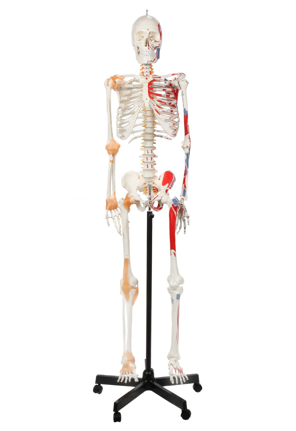 Axis Scientific Painted And Numbered Flexible Life Size Skeleton