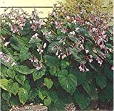 Have one to sell? Sell now Begonia Hardy Grandis Perennial Seeds