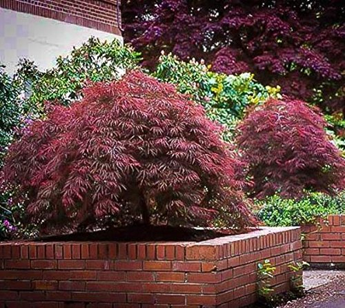 (New Life Nursery & Garden / - Red Dragon Weeping Japanese Maple Tree Trade Gallon Pot )