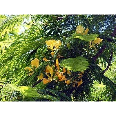 Yellow Bird of Paradise 10 Seeds -Caesalpinia- Tropical: Toys & Games