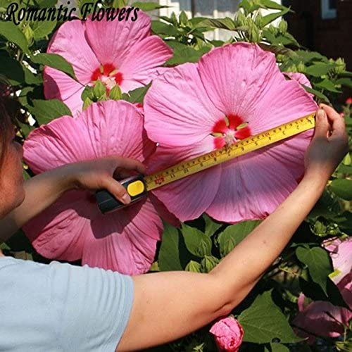 Brend Fly 50 Particle Bag Giant Hibiscus Flower Seeds Hardy Mix Color Diy Home Garden Potted Or Yard Flower Plant Amazon Ca Patio Lawn Garden