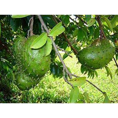 Soursop (Annona muricata) 4 seeds Qty Pack : Fruit Plants : Garden & Outdoor
