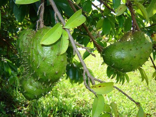 Soursop (Annona muricata) 4 seeds Qty Pack (Fruit Tree Soursop)