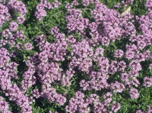 Pack X6 Creeping Thyme 'Coccineus' Perennial Garden Herb Plug Plants South Eastern Horticultural