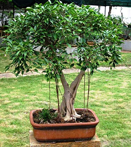 Plant House Live Ficus Benjamina Green Pre Bonsai Plant With Pot Amazon In Garden Outdoors