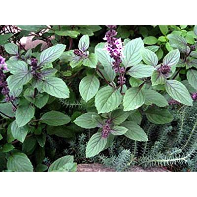 Corsican Basil Herb 200 Seeds - Heirloom - Mild Flavor : Vegetable Plants : Garden & Outdoor