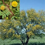 Sweet Acacia Tree Seeds Fast Growing Fragrant Yellow Flower Drought Tolerant-10