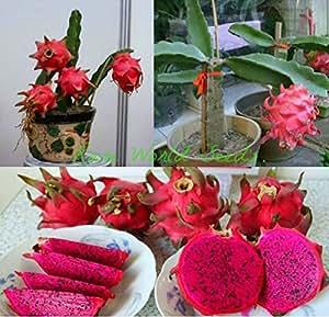 TTmart Original Pack 15 Seeds / Pack,Red pitaya seeds,Red dragon fruit