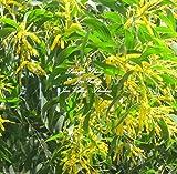 Acacia Auriculiformis Papuan Tree Seeds Bonsai Rare! Sweet Scented Flowers