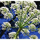3000ct Queen Anne's lace Seeds ~2.8g Decorative Garden Plant ~Pure White Annual