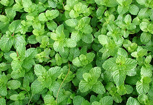 100+ ORGANICALLY Grown Spearmint Herb Seeds Heirloom Non-GMO Mentha Spicata Fragrant! from USA