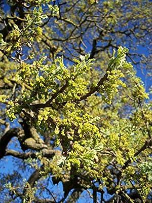 5 pcs/pkt California White Oak Tree Seeds For Planting