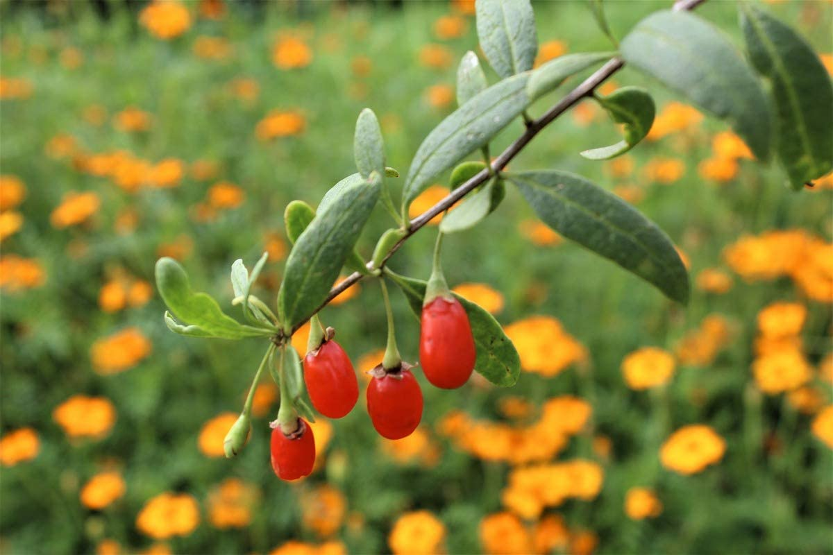 Goji Berry Turgidus 2 Year Old Strong Yielding Plant In A 5 L Container Amazon Co Uk Garden Outdoors