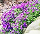 100pcs Aubrieta Seeds rare Rock Cress Flower seeds Diy plant bonsai Seed Perennial Plants For Home Garden sementes and rose gift Pink