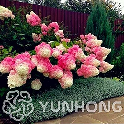 Txdsong - Hydrangea Bonsai Paniculata Vanilla Strawberry Macrophylla Home White Flower 20pcs: Garden & Outdoor