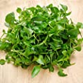 Curled Cress Seeds - Non-GMO, Organic, Heirloom, Sprouting Seeds for Growing Microgreens, Gardening Baby Salad Greens