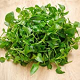 Curled Cress Seeds - 1 Lb