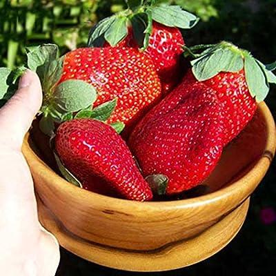 fercisi Health Care Fruits Full of Nutrition Jumbo Strawberry Seeds Dresses: Clothing