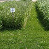 Annual Ryegrass Seeds - 5 LB by American Meadows