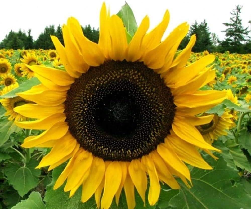 100 Grey Stripe Mammoth Sunflower Seeds Flowers for Garden Planting