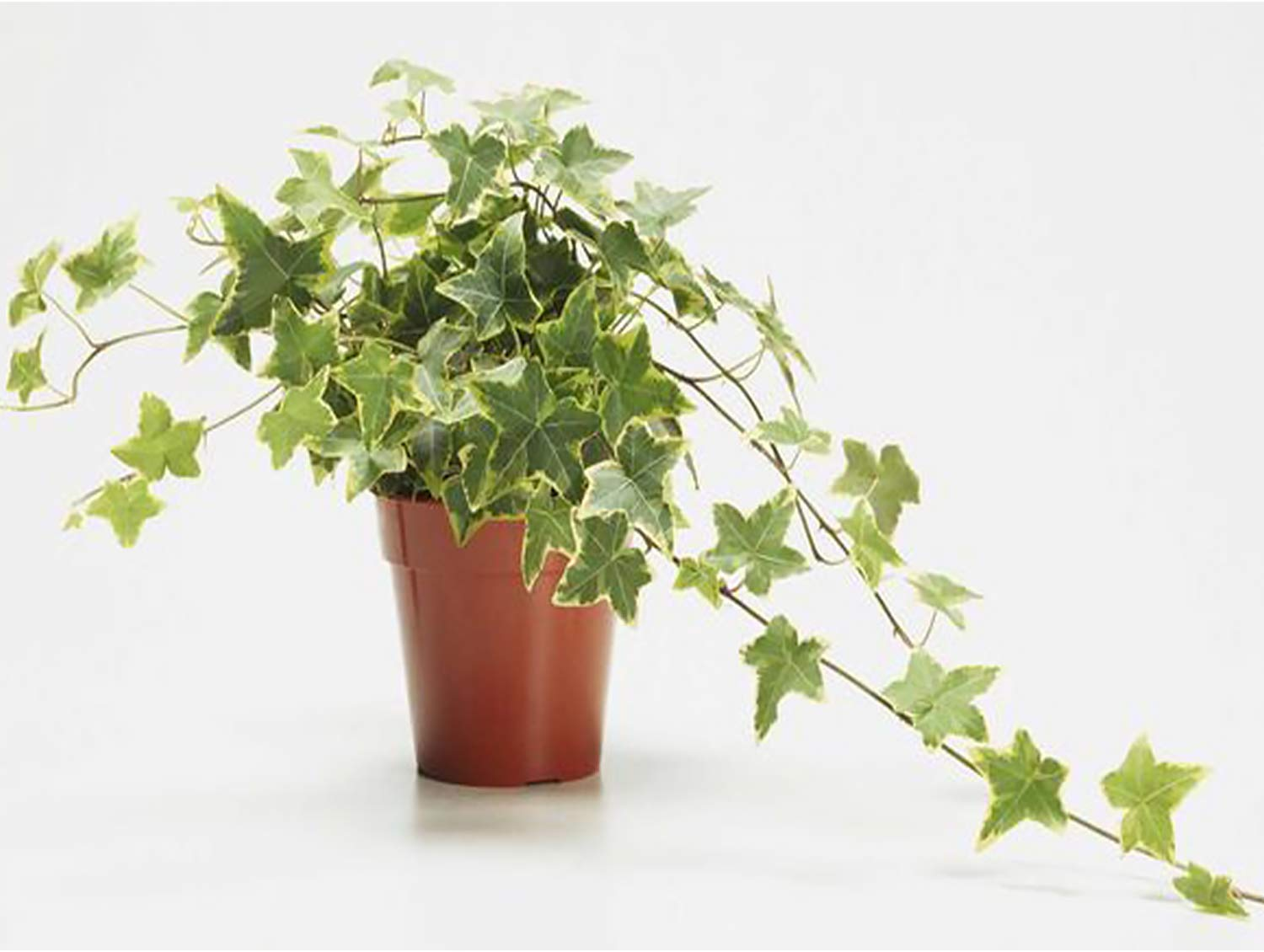 AMERICAN PLANT EXCHANGE Variegated English Ivy Trailing Vine Live Plant, 6'' Pot, Indoor/Outdoor Air Purifier by AMERICAN PLANT EXCHANGE