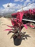 Cordyline fruticosa 'Red Sister', Ti Plant, Cordyline terminalis, Dracaena terminalis - 3 Gallon