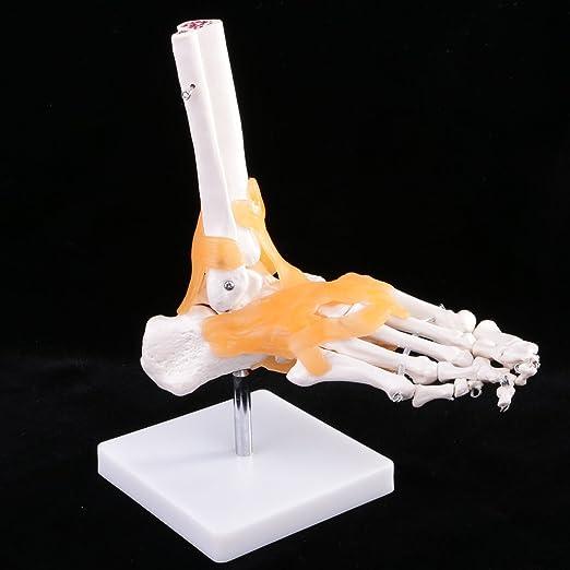 Gazechimp 1: 1 Lebensgroß Menschlicher Skelettfuß Knöchel Knochen ...