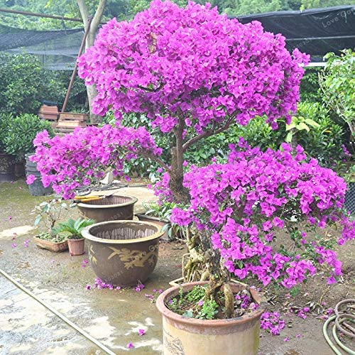 Amazon Com Agrobits 100 Pcs Purple Bougainvillea Glabra Bonsai Spectabilis Willd Bonsai Plant Bougainvillea Bonsai Flower Potted Plan Home Kitchen