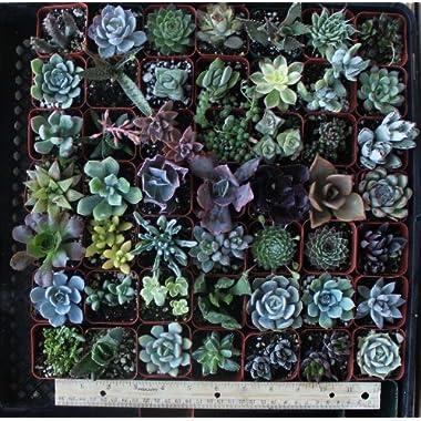 20 Gorgeous Succulents in 2  plastic pots