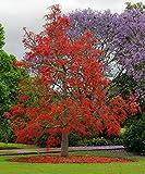 10 Seeds Brachychiton acerifolius Illawarra Flame Tree