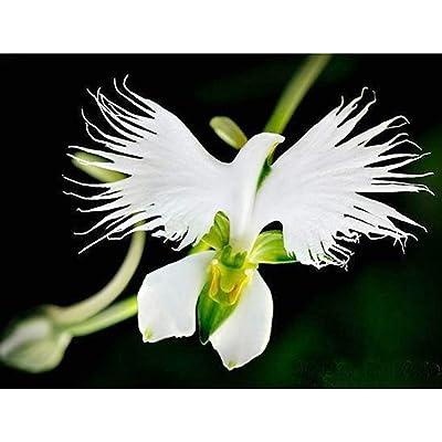 100pcs White Dove Orchids Bonsai World's Rare Flower Japanese Bonsai for Garden & Home Planting White Flower Bonsai: Garden & Outdoor