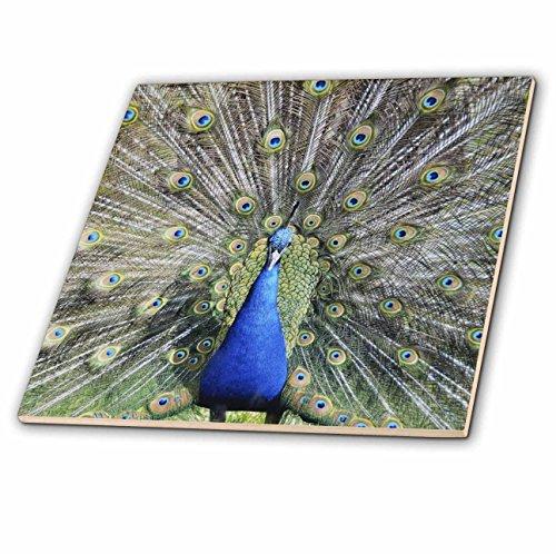 3dRose Andrea Haase Animals Photo - Lovely Peacock Bird - 6 Inch Ceramic Tile (ct_271197_2) (Bird Tile)