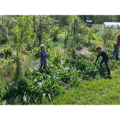 Bocking 14 Russian Comfrey - 12 Live Root Cuttings | by Marsh Creek Farmstead : Garden & Outdoor