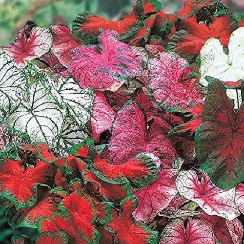 Caladium Garden Mix (18 bulbs), brilliant foliage for shaded areas. Now Shipping ()