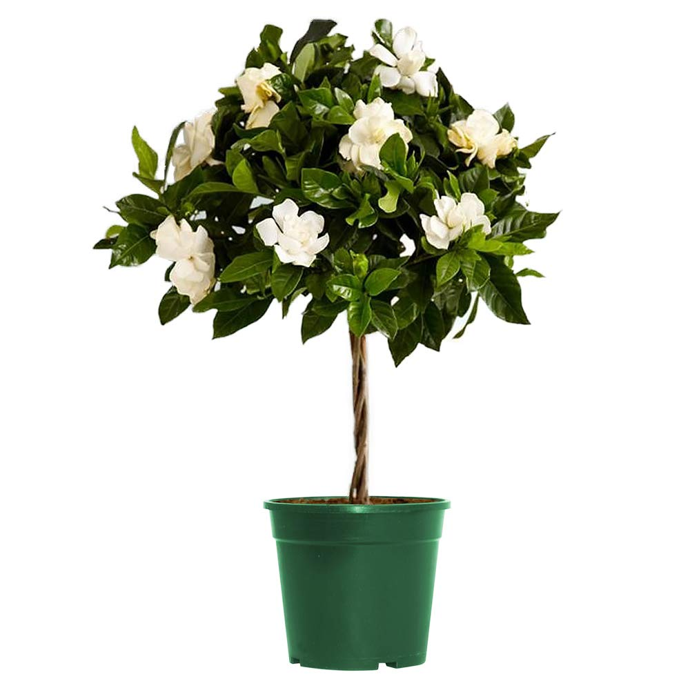 AMERICAN PLANT EXCHANGE Mini Gardenia Tree Miami Supreme Live Plant 6'' Pot Indoor/Outdoor Air Purifier