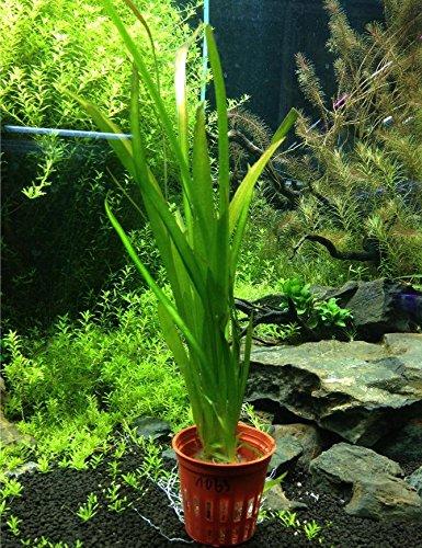 Vallisneria Gigantea Potted Live Aquarium Decorations Aquatic Plants For Fish Tank by Mainam by Mainam